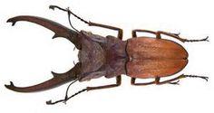 Cyclommatus Canaliculatus