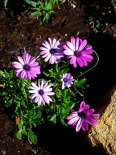 Purple Daisies~cl