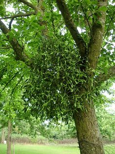 Mistletoe. We would go out to search for it at Christmas