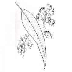 Image result for eucalyptus simple drawing