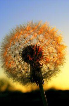 dandelion-sunset