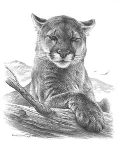 Cougar Study by denismayerjr on DeviantArt Mountain Drawing, Mountain Tattoo, Mountain Lion, Pencil Art Drawings, Realistic Drawings, Dog Tattoos, Animal Tattoos, Animal Sketches, Animal Drawings