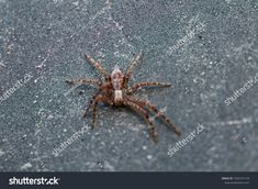 Find Closeup Small Spider Resting On Road stock images in HD and millions of other royalty-free stock photos, illustrations and vectors in the Shutterstock collection. Thousands of new, high-quality pictures added every day. Close Up, Spider, Insects, Photo Editing, Royalty Free Stock Photos, Rest, Illustration, Pictures, Image