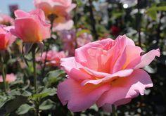 Красивые розы . — Сочинское сообщество