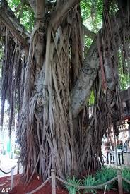 Related image fig tree