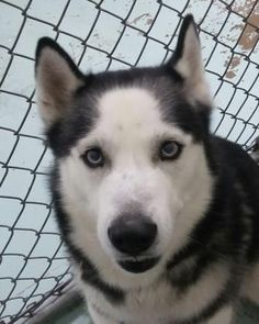 Petango.com – Meet Ice, a 1 year Siberian Husky available for adoption in FORT WORTH, TX