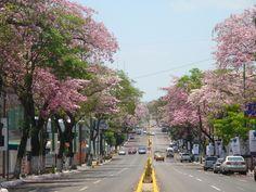 MÉXICO | Villahermosa / Paseo Tabasco adornado por los árboles de Macuilí.