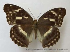 In 1901 indigenous hunters collected this butterfly at Tien-Tsuen. It entered the collection of P. Dejean and later that of Oberthur which was given to the British Museum. The Trustees of the British Museum later donated it to RAMM.