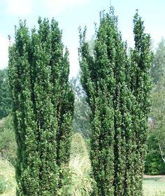 Sky Pencil Holly | Japanese Holly for Sale | Fast Growing Trees
