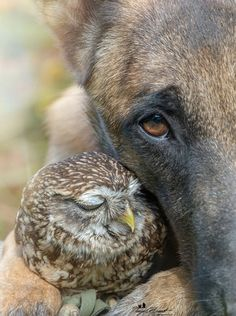 White Wolf : Meet Ingo and Poldi: Tiny rescued owl and dog are madly in love