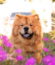 Chow Chow Puppy Umka