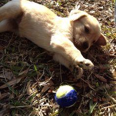 Golden Lab Pup
