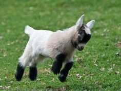 Wedding rentals: GOATS!!!! Let's do this thing! They'll be awesome on the dance floor! And this fella's already wearing spats!