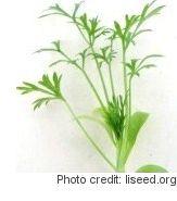 Cilantro microgreens grown indoors