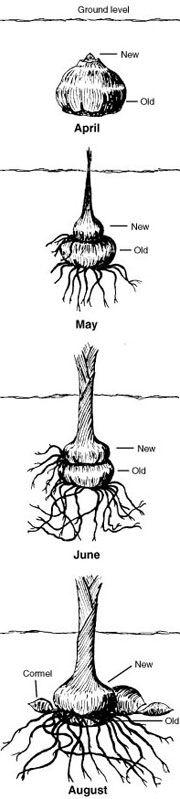 Gladiolus Planting