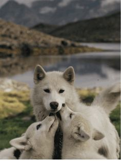 BEAUTIFUL ~ WOLF FAMILY <3<3<3<3               #SaveTheWolves !!!!!!!