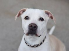 GONE - 03/14/15 Brooklyn Center   My name is NINA. My Animal ID # is A0711290. I am a spayed female cream and white pit bull. The shelter thinks I am about 9 YEARS old.  I came in the shelter as a OWNER SUR on 03/09/2015 from NY 11418, owner surrender reason stated was LLORDPRIVA.  https://www.facebook.com/photo.php?fbid=976698845676328