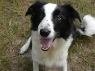 Border Collie - reminds me of my Buttons