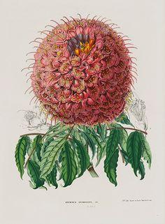 Antique Botanical Prints by Louis Van Houtte 1845 #flowers #plants #botanical…