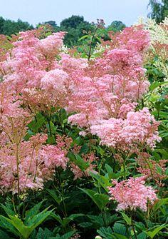 Queen of the Prairie (Filipendula rubra), Native plant. grows in full sun, 4-5' high. Hardy to zone 3. Flowers June-July. Prefers alkaline soil.