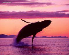 baleia saltando