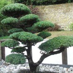 Juniperus media 'Hetzii'  Acheter Vos Arbres chez le spécialiste du Jardin Zen français . ART Garden www.art-garden.fr