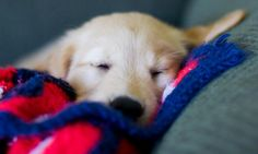 Wilson the Golden Retriever, I need just a little snooze.......