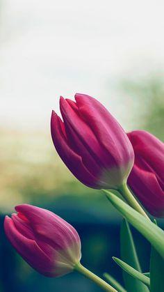 Tulip Pure Beautiful Blur Lanscape #iPhone #6 #wallpaper