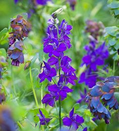 "Consolida ""Mauve"" A beautiful, slaty-purple form of larkspur. Excellent garden and vase life. Blue Garden, Colorful Garden, Planting Bulbs, Planting Flowers, Garden Theme, Green Life, Flower Seeds, Cut Flowers, Flower Vases"