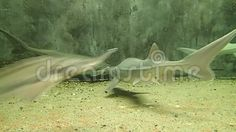 Video about Some Siberian sturgeons swimming in water. Video of underwater, swimming, aquarium - 102405514 Underwater, Garden Sculpture, Aquarium, Swimming, Outdoor Decor, Aquarius, Swim, Fish Tank