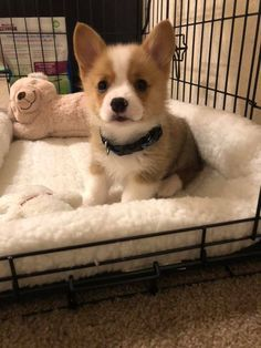 """Visit our internet site for more relevant information on """"corgi puppies:. It is actually an exceptional area to get more information. Cute Corgi Puppy, Corgi Dog, Pet Puppy, Cute Puppies, Cute Dogs, Dogs And Puppies, Dog Cat, Teacup Puppies, Pomeranian Puppy"""