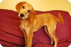 12/8/14 Philadelphia, PA - Labrador Retriever/Hound (Unknown Type) Mix. Meet Elsie, a dog for adoption. http://www.adoptapet.com/pet/12051996-philadelphia-pennsylvania-labrador-retriever-mix
