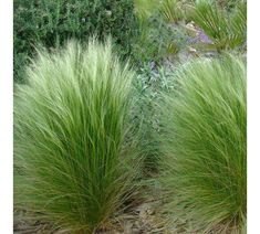 Stipa tenuissima Wind Whisper is a beautiful evergreen silver grass. Soft light and pretty Landscape Design, Garden Design, Mexican Feather Grass, White Plants, Ornamental Grasses, Plantation, Front Yard Landscaping, Gardens, Townhouse