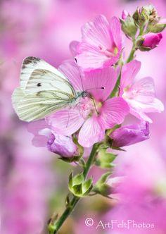https://flic.kr/p/PuczD8 | 5955-lavatera-brimstone butterfly