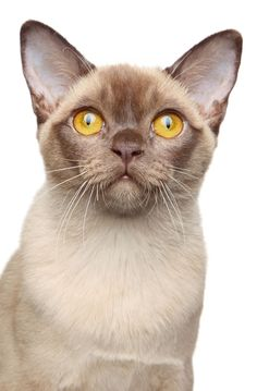 Burmese Cat Breed Information -What kind of cat breeds fit you most at catsincare.com!