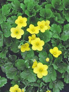 Waldsteinia (Waldsteinia ternata) - 18 Ideal Groundcover Plants for Dry Shade  on HGTV