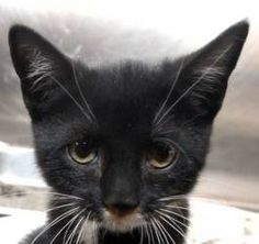 #241 Reglisse is an adoptable Domestic Short Hair-Black And White Cat in New Haven, CT. Three-month-old Reglisse (French for licorice) was found abandoned by her mother at three weeks. She was born wi...