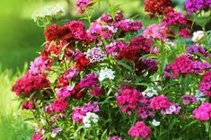50 Plants That Thrive in Any Yard : Dianthus Beautiful Gardens, Beautiful Flowers, Meadow Sage, Blue Fescue, Butterfly Weed, Fountain Grass, Plant Supports, Balloon Flowers, Hardy Plants