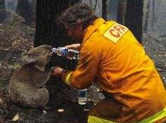 A firefighter rescues a koala.Here he is quenching the thirst of the koala during the rescue operation of the devastating Black Saturday bushfires that burned across Victoria, Australia, in Black Saturday, Black Friday, Powerful Pictures, Inspiring Pictures, Inspirational Photos, Amor Animal, Faith In Humanity Restored, Most Powerful, In This World