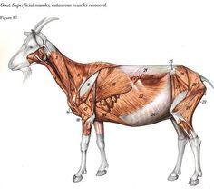 Anatomie caprine