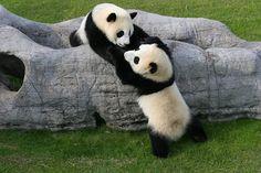 Panda twins Ai Hin and Mei Hin love playing together at the Chengdu Pambassador program. ~~Pull, not push! So dang adorable! Panda Love, Cute Panda, Big Panda, Panda Panda, Panda Mignon, Panda's Dream, Baby Panda Bears, Baby Pandas, Tier Fotos