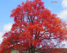 ✣… Divinity dreams in Beauty …   Wordz and Photograph © ellen♥ vaman Illawarra Flame Tree www.facebook.com/ellenvaman