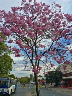 Lapacho en flor. Asunción-Paraguay