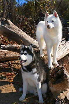 Siberian Huskies  - hmmm do u see any squirrels we can chase lol