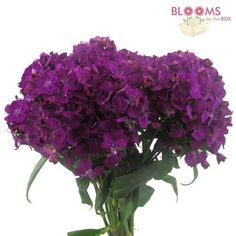 Dianthus Purple - Wholesale - Blooms By The Box