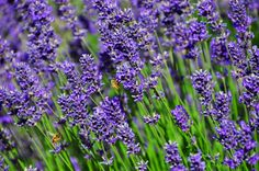 Lavender Capital of North America: Buzzing bees