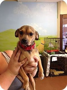 Chino Hills, CA - Chihuahua Mix. Meet Dafodile a Dog for Adoption.