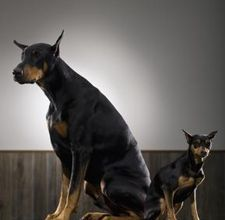 A doberman and a miniature. this is all I want in life.<3
