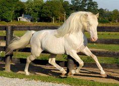 grey (cremello based) - Kentucky Mountains Saddle Horse stallion Dreamcatcher's Moon Walker