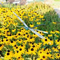 Black-eyed Susans are in August bloom to attract butterflies. Their seedpods are loved by goldfinches.